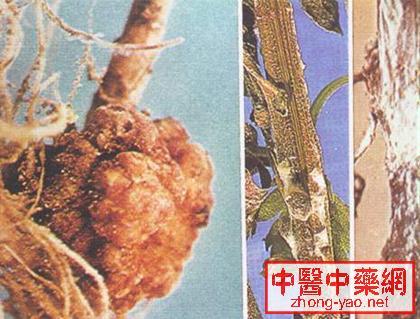 ②用培养好的哈茨木霉0.4-0.
