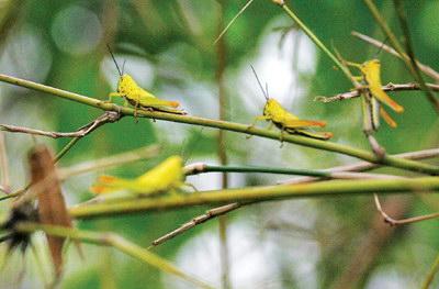 黄脊竹蝗 - 植保 - 中国园林网
