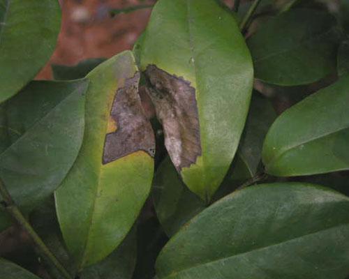 含笑炭疽病 - 植保 - 中国园林网