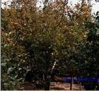 甚至桑树,刺槐,苦楝,五角枫,柳树,臭椿,花椒,杨树,榆树,梧桐,丝兰等多图片