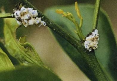 花噬虫_堆蜡粉蚧 - 植保 - 园林网