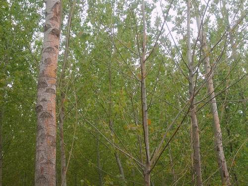 白杨树的外形特征