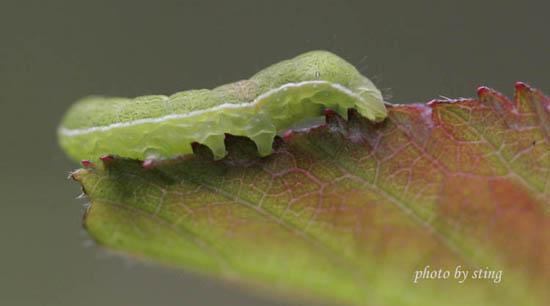 华中,华东等地区均有发生和危害,是槐树,龙爪槐的又一种主要食叶害虫