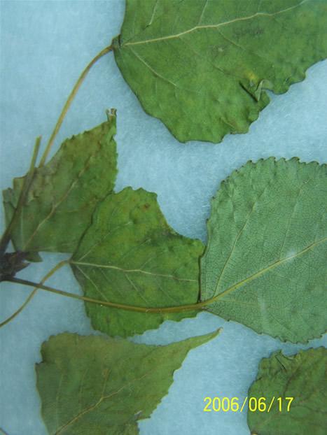 杨树花叶病毒病