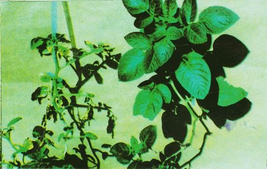 桑青枯病 - 植保 - 中国园林网