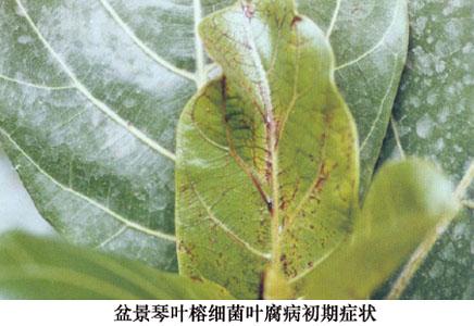 榕树叶子的虫