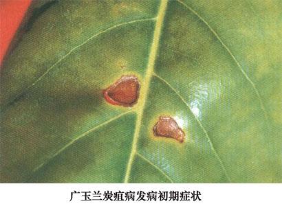 发生规律                       白玉兰炭疽病的病菌以菌丝体在树体
