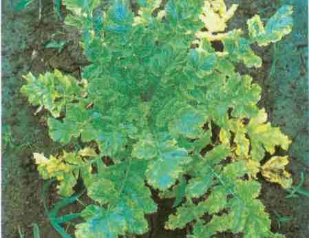 泡桐树的生长规律