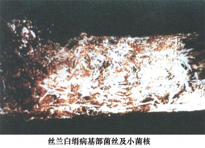 丝兰白绢病+-+植保+-+中国园林网