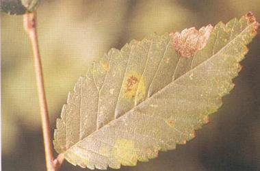 榆树炭疽病