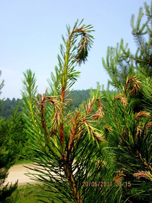 分布于世界各地,危害辐射松,湿地松,长叶松,火炬松等许多松树,也危害