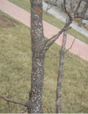 槐树蚧壳虫