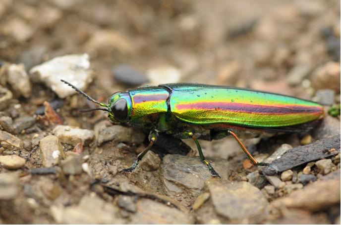 节肢动物 昆虫 吉丁虫_节肢动物 昆虫 吉丁虫