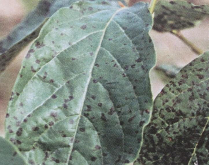 核桃黑斑病 - 植保 - 中国园林网