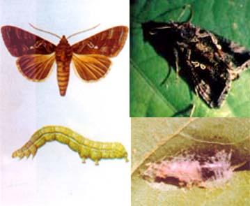 玉米蛀茎夜蛾
